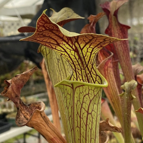 Sarracenia ( alata 'red lid' x flava ) x leucophylla Seed Pack (24 seeds/pack)