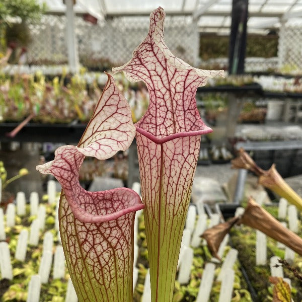 Sarracenia ( 'Majesty' ) x flava 'Bob Hanrahan' Seed Pack (24 seeds/pack)