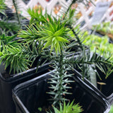 Araucaria araucana Monkey Puzzle Tree Bare-Root