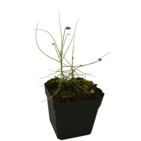 Byblis liniflora Deluxe Potted