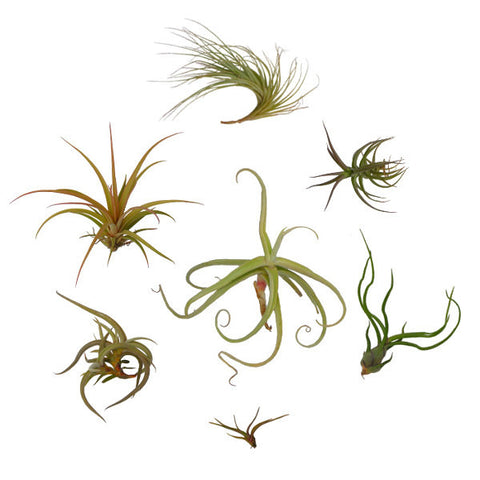 Tillandsia Air Plant Collection (7 Plants)