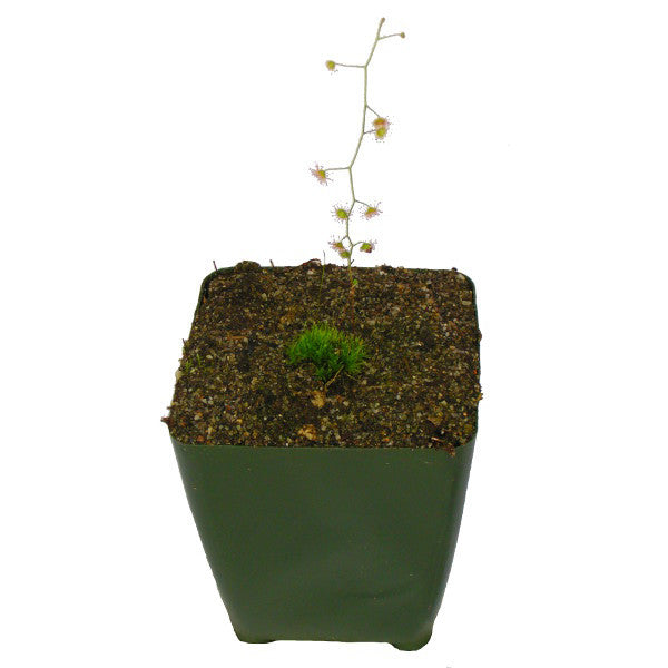 Drosera indumenta Deluxe Potted