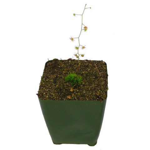 Drosera indumenta Potted