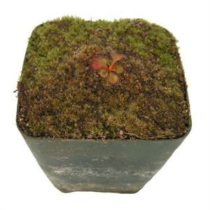 Drosera rupicola 'Dark Red x Bronze' Deluxe Potted