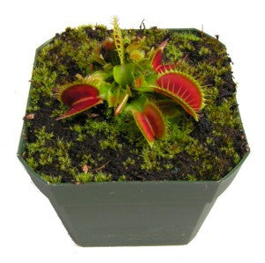 Dionaea m. Big Mouth Venus Flytrap