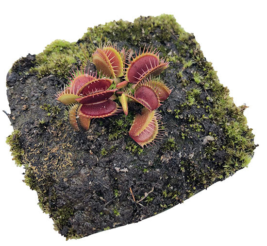 Dionaea m. 'Black Star' Potted