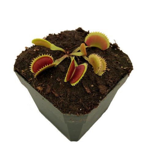 Dionaea m. 'Brutal Shark' Potted