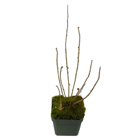 "Drosera filiformis var. filiformis ""Ocean Co, NJ"" Potted"