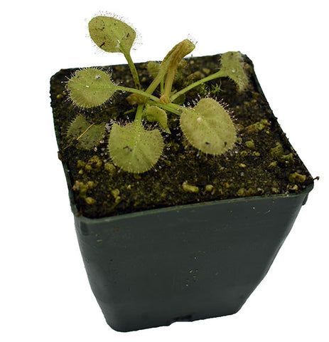 Drosera x 'Andromeda' Potted