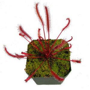 Drosera capensis Cape Sundew narrow red