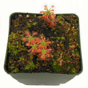 Drosera dichrosepala Deluxe Potted