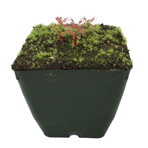 Drosera enodes 'Scotts River' Potted