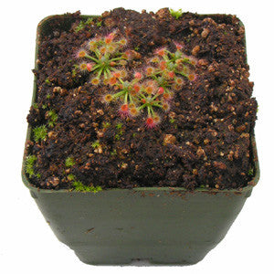 Drosera helodes Deluxe Potted