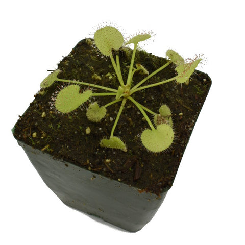 Drosera prolifera Deluxe Potted