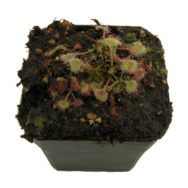 Drosera rotundifolia Potted