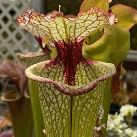 Sarracenia ( x 'Leah Wilkerson' ) x minor 'giant' Seed Pack (24 seeds/pack)