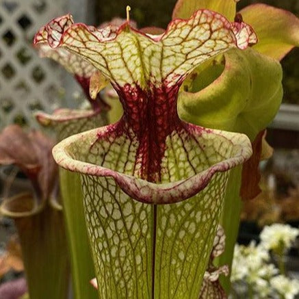 Sarracenia leucophylla x ( 'Leah Wilkerson' ) Seed Pack (24 seeds/pack)