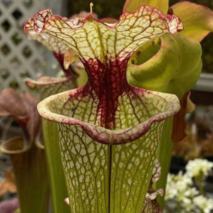 Sarracenia ( 'Leah Wilkerson' ) x ( 'Majesty' ) Seed Pack (24 seeds/pack)