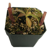 Nepenthes glandulifera (S-SG) Deluxe Potted