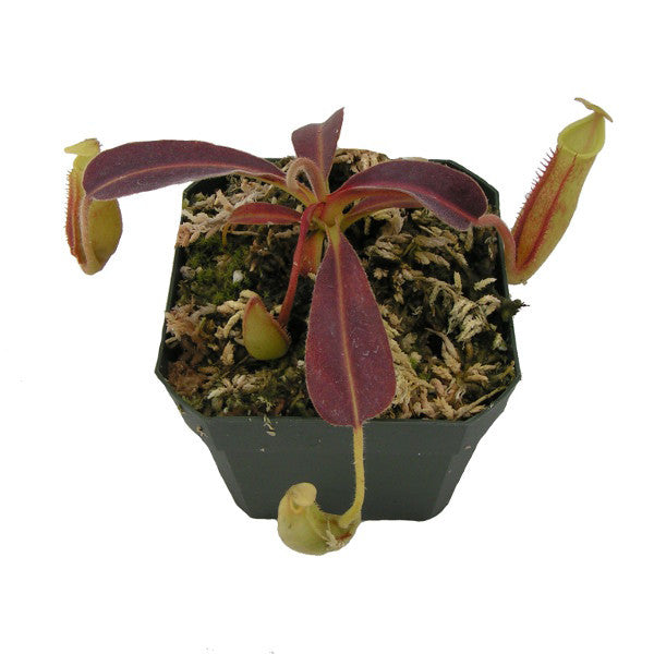 "Nepenthes maxima ""wavy leaf"" (S-SG) Deluxe Potted"