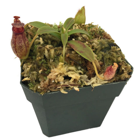 Nepenthes spectabilis x aristolochioides (S-TC) Deluxe Potted