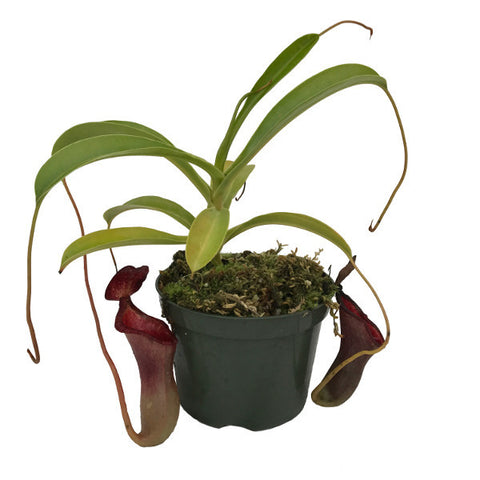 Nepenthes x 'Peter D'Amato' (L-RC) Deluxe Potted