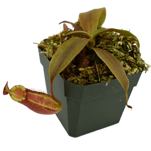 Nepenthes ampullaria x ( spectabilis x talangensis )  (M-TC) Deluxe Potted