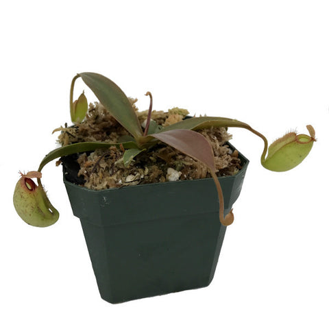 Nepenthes ampullaria x aristolochioides (M) Deluxe Potted