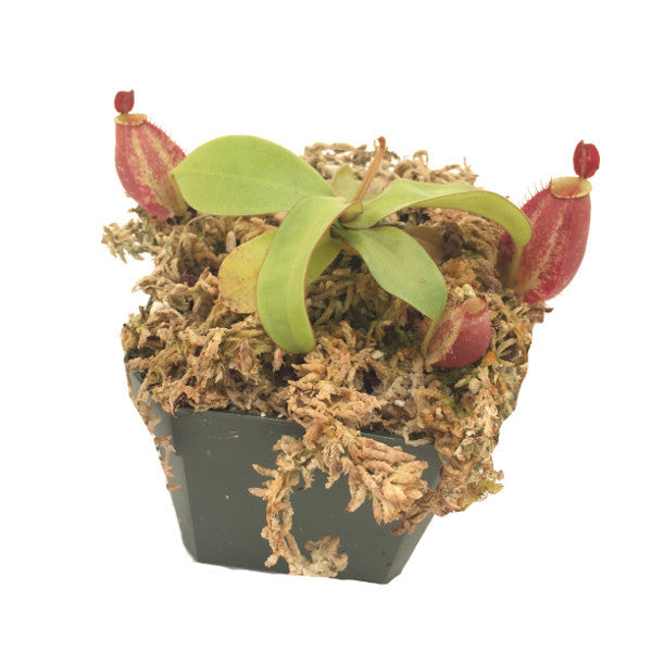 "Nepenthes ampullaria ""red"" (S-SG) Deluxe Potted"