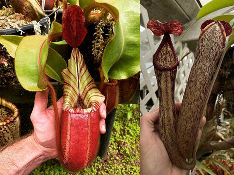 "Nepenthes veitchii ""Bareo GW"" x boschiana ""GW"" (SG) Potted"