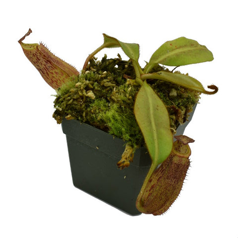 Nepenthes burbidgeae x veitchii (M-SG) Potted
