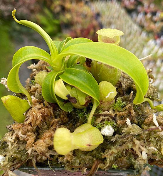 Nepenthes burkei (S-TC) Potted