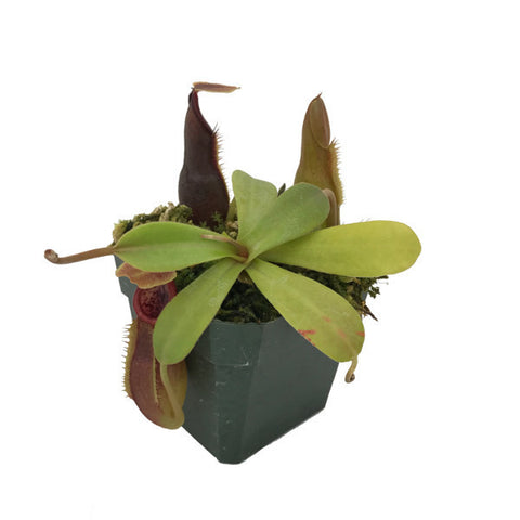 Nepenthes carunculata var. robusta (M-TC) Wistuba Deluxe Potted