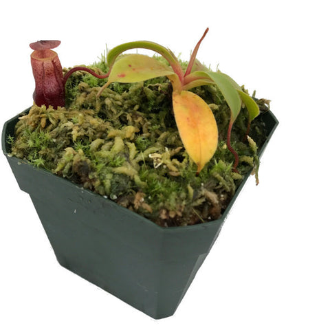 Nepenthes deaniana (S-TC) Wistuba Deluxe Potted