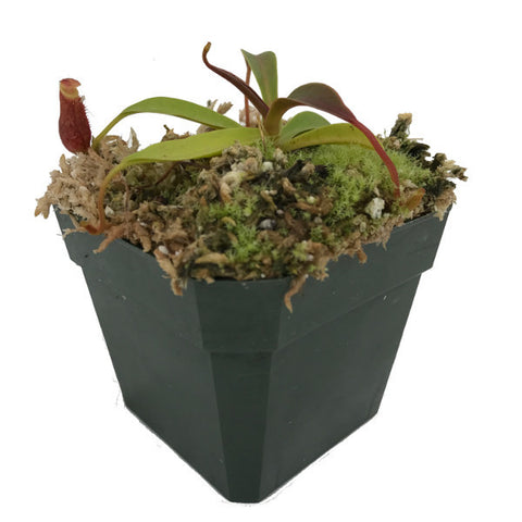 Nepenthes diatas (M-TC) Deluxe Potted
