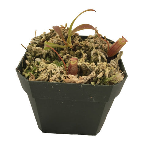 Nepenthes flava (S-TC) Wistuba Deluxe Potted