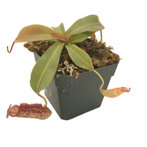 Nepenthes 'Gentle' (M-TC) Deluxe Potted