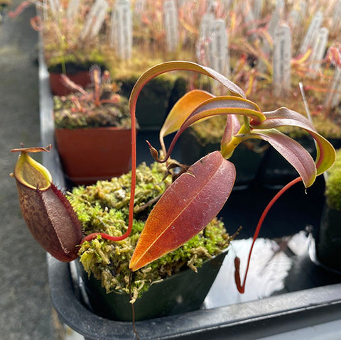 Nepenthes gymnamphora (M-TC) Potted