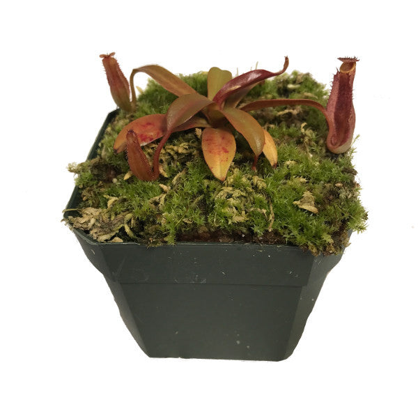 Nepenthes ramispina x reinwardtiana (S) Deluxe Potted