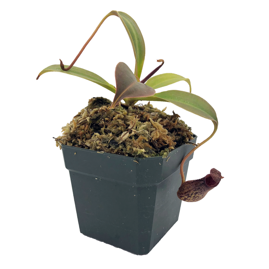 Nepenthes robcantleyi x ( aristolochioides x spectabilis ) (M-TC) Deluxe Potted