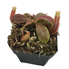 "Nepenthes veitchii ""Batu Lawi"" (S-TC) Deluxe Potted"
