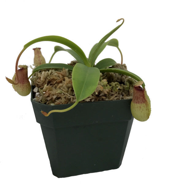 Nepenthes aristolochioides x ventricosa (S-TC) Deluxe Potted