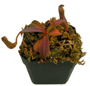 Nepenthes vogelii (S-TC) Deluxe Potted