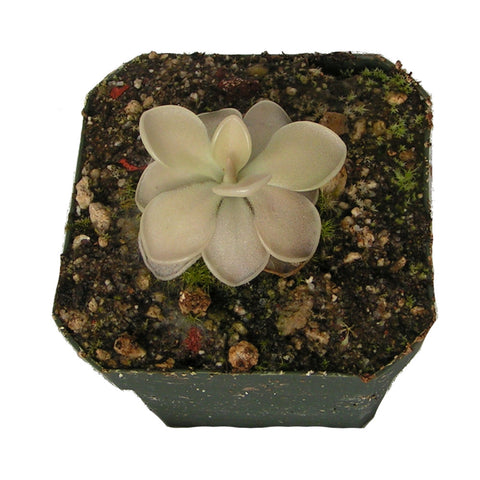 Pinguicula agnata x ( moranensis  x ehlersiae ) Deluxe Potted