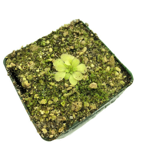 Pinguicula rectifolia MR Potted