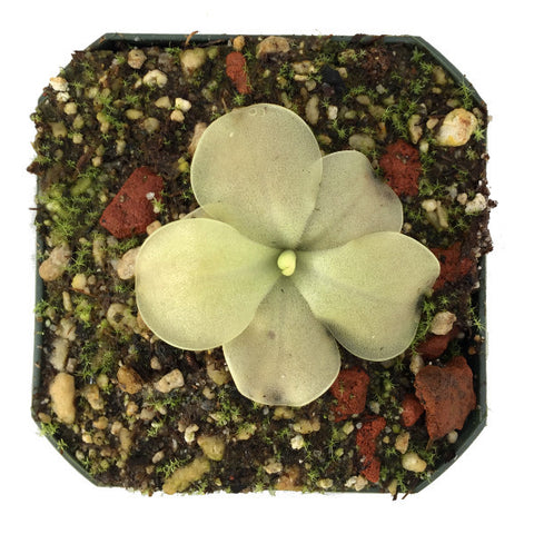 Pinguicula x 'John Rizzi' Deluxe Potted