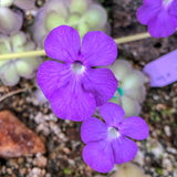 Pinguicula cyclosecta Potted