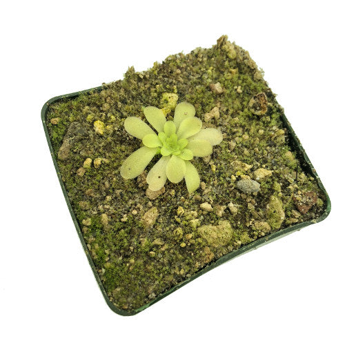 Pinguicula x 'Hameln' Potted