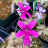 Pinguicula hemiepiphytica Potted