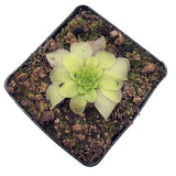 "Pinguicula moranensis ""MOAL"" Potted"